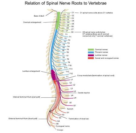Relation Of Spinal Nerve Roots To Vertebraeg