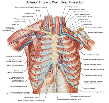 Anterior Thoracic Wall Deep Dissection