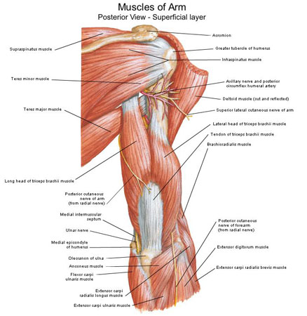 of arm posterior view, Human Body